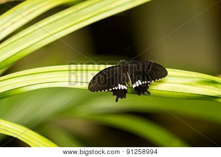 Butterfly On Leaf, Macro Insect Life In The Tropical Rain Forest. Kuala-lumpur, Malaysia.
