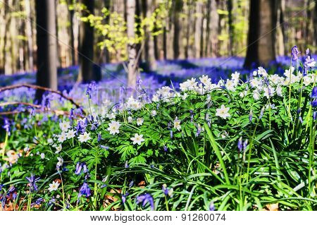 Spring Forest Covered With Bluebells And Anemones