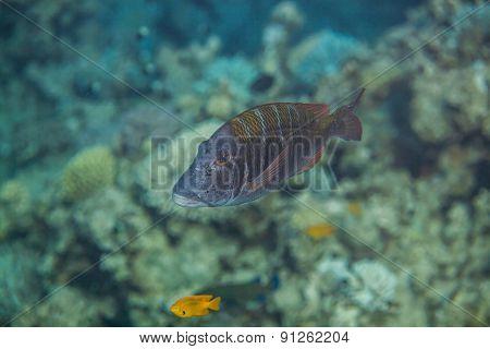Big sky emperor fish