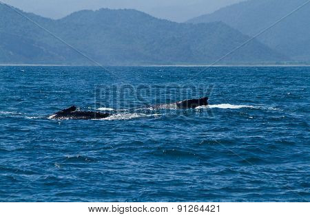 Beautiful humpback whales in the coast of Ecuador