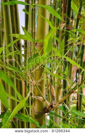 Close Up Green Bamboo Forest Background
