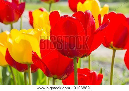 Spring Red And Yellow Tulips Backlit, Close-up