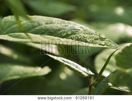 Rain Droplets on Watercress Leaves. Sunlight.