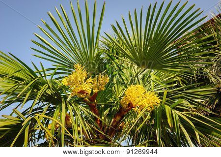 Blooming palm tree, top section with yellow flowers and sky