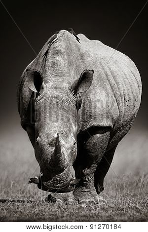 White Rhinoceros (Ceratotherium Simum) approaching from front - Kruger National Park (South Africa)