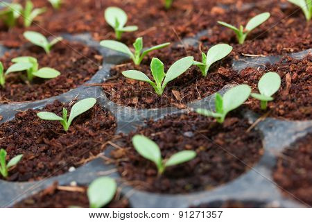 Grape seedlings in nursery tray