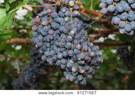 the Grapevines with Bunches of Grapes