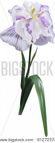 illustration with single lilac iris isolated on white background
