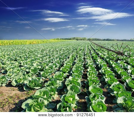 Landscape view of a freshly growing cabbage field
