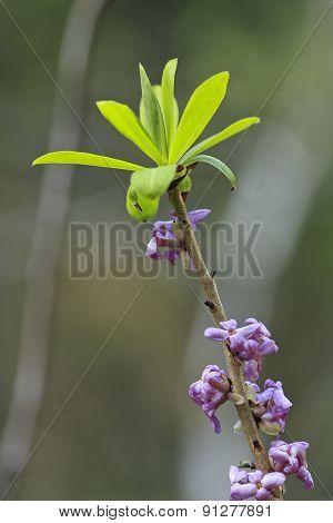 Daphne mezereum flower and leaves.