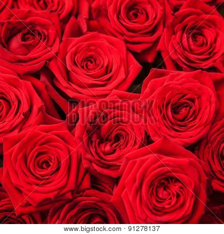 Fine grown red roses