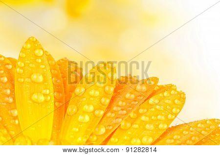 Gerber flower on color background