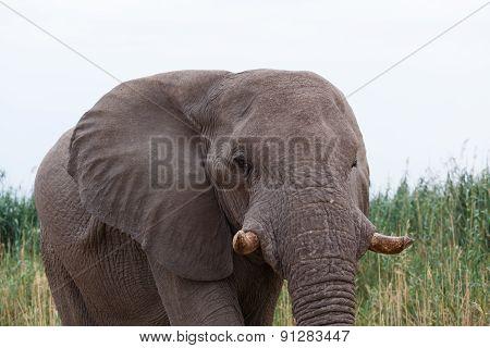 Big African Elephants On Etosha National Park