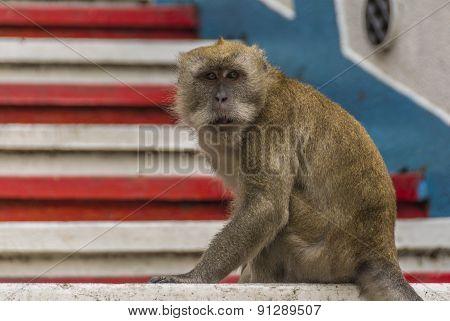 A Macaque monkey in Kuala Lumpur, Malaysia