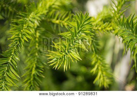 Plant leafs (araucaria angustifolia )