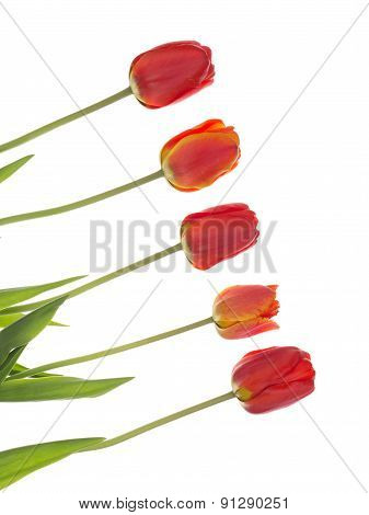 Red Tulips On The Diagonal, Vertical