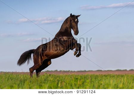 Black horse playing on pasture