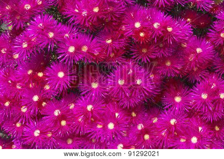 Blooming flower of ice plants (Lampranthus spectabilis)