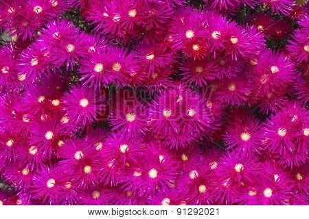 Blooming flower of ice plants (Lampranthus spectabilis)