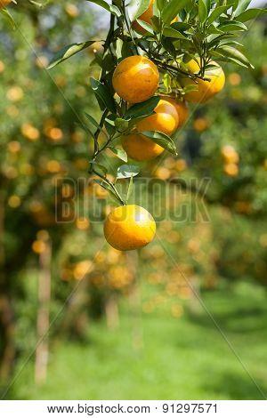 Closeup fresh orange on plant, orange tree
