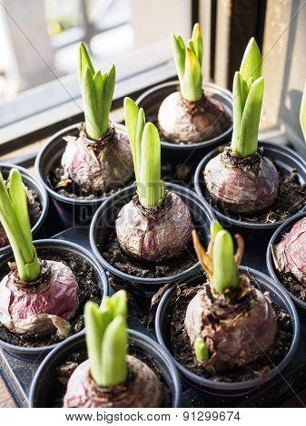 Onion Plants, Home style garden