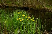 picture of may-flower  - Flowers Globe spring month of May on the banks of the river in the forest thickets of tall grass - JPG