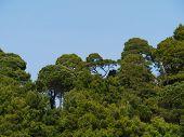 foto of blue spruce  - Green Aleppo spruce pine trees opposite a blue sky in Saplunara on the island Mljet in Croatia - JPG