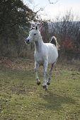 image of stallion  - White arabian stallion running alone in autumn - JPG