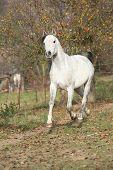 picture of stallion  - White arabian stallion running alone in autumn - JPG