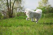 pic of mammal  - Samoyed dog running on green background outdoor - JPG