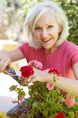 picture of prunes  - Mid age woman pruning geraniums - JPG