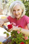 foto of geranium  - Mid age woman pruning geraniums - JPG