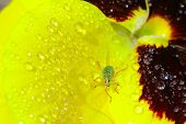 stock photo of tickle  - Green bug sits on heartsease - JPG