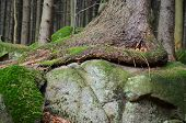 image of bohemia  - tree grows on a large stone South Bohemia Czech Republic - JPG