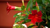 stock photo of trumpet flower  - Letterbox image of bright red Mandevilla blooms with buds and green leaves against a red background. Five petaled red trumpet shaped orange centered flower. ** Note: Soft Focus at 100%, best at smaller sizes - JPG