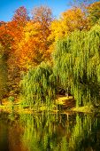 picture of weeping willow tree  - Natural landscape - JPG
