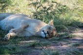 stock photo of lioness  - A Sleeping lioness in a game reserve South Africa - JPG