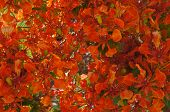 picture of angiosperms  - Delonix Regia tropical tree in full bloom - JPG