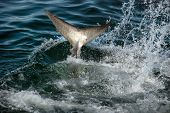 stock photo of great white shark  - The tail of a great white shark splashes as it hits the water - JPG