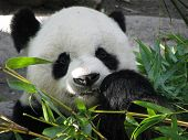 stock photo of bamboo leaves  - Giant Panda Bear Feeding on Bamboo Leaves - JPG