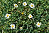 picture of chamomile  - Ground chamomiles - JPG