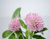 stock photo of red clover  - Close-up of red clover blossoms with shallow depth of field with space for text.