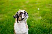 foto of dog breed shih-tzu  - Cute Bichon Frise cross Shih Tzu playing in his garden - JPG