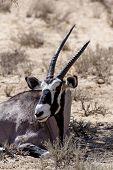stock photo of antelope horn  - close up portrait of Gemsbok Oryx gazella dominant Gemsbok antelope in the park Kalahari South Africa - JPG