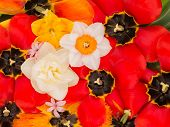 picture of stamen  - bright spring tulips with black center and stamens pistils and beautiful yellow daffodils a top view of a vertically - JPG