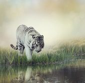 picture of ponds  - White Tiger Near A Pond - JPG