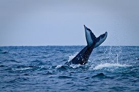 picture of gentle giant  - Beautiful humpback whales in the coast of Ecuador - JPG