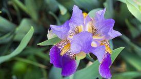 picture of purple iris  - Purple Yellow Zebra Iris - JPG