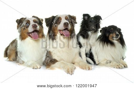 australian shephers and shetland sheepdogs in front of white background