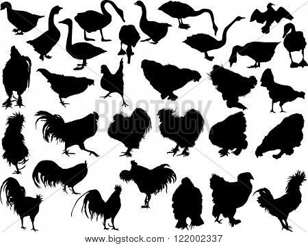 illustration with poultry silhouettes isolated on white background